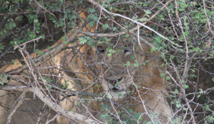 Lion camouflaged in thicket
